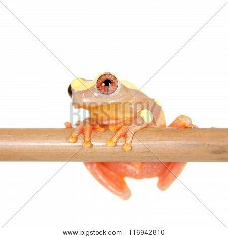 Shreve's Sarayacu treefrog isolated on white