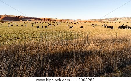 Black Angus Cattle Graze Large Ranch Wyoming Domestic Animal