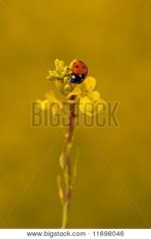 ladybird eating aphids on yellow plant in yellow field british summer time poster