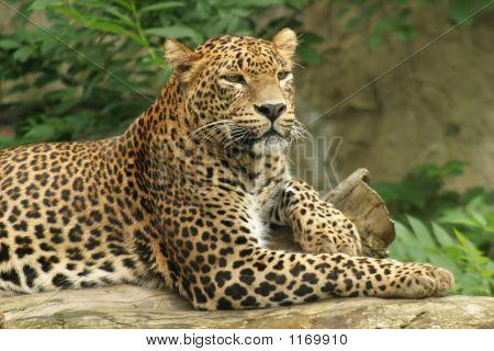 Ceylon Leopard