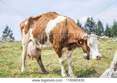 Skinny Cow With A Bell Standing On A Pasture