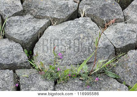 Plants Growing Between Paving-stones
