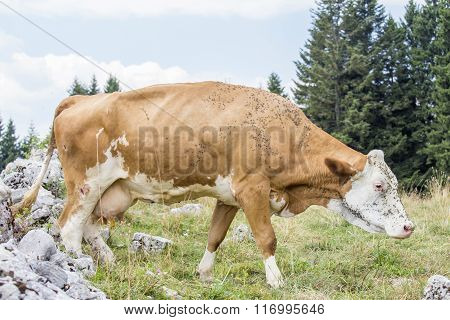 Cow Bothered By Flies On An Alpine Pasture