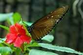 close up of brown butterfly on red flower poster