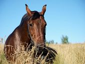 bay horse in field blue sky sunny day summer poster