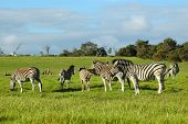 a herd of three zebras grazing in a game park in south africa poster