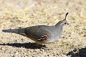 gambel's quail female common game bird of the southwest deserts. poster