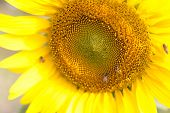 bees hive pollinate sunflower. Bee produces honey on a flower. Summer background. poster