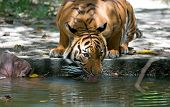 drinking tiger - taken in animal farm poster