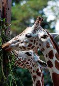 giraffe grazing - taken from animal farm poster