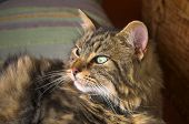 maine coon tabby cat gloucestershire england uk poster