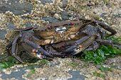 Velvet Swimming Crabs (Necora Puber) on barnacle encrusted rock poster