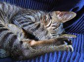 cat pet against blue sofa poster