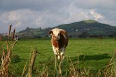 a bull with glastonbury tor illuminated by the sun in the background. poster