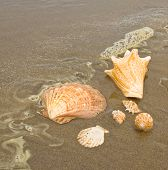 Scallop and Conch Shells on a Wet Sandy Beach as an Ocean Ripple Approaches poster