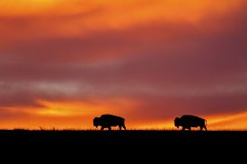 two bison silhouette with Kansas sunrise
