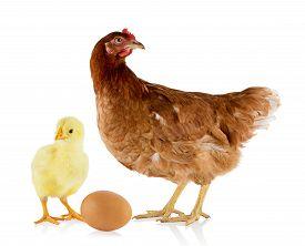 Brown hen and chicken