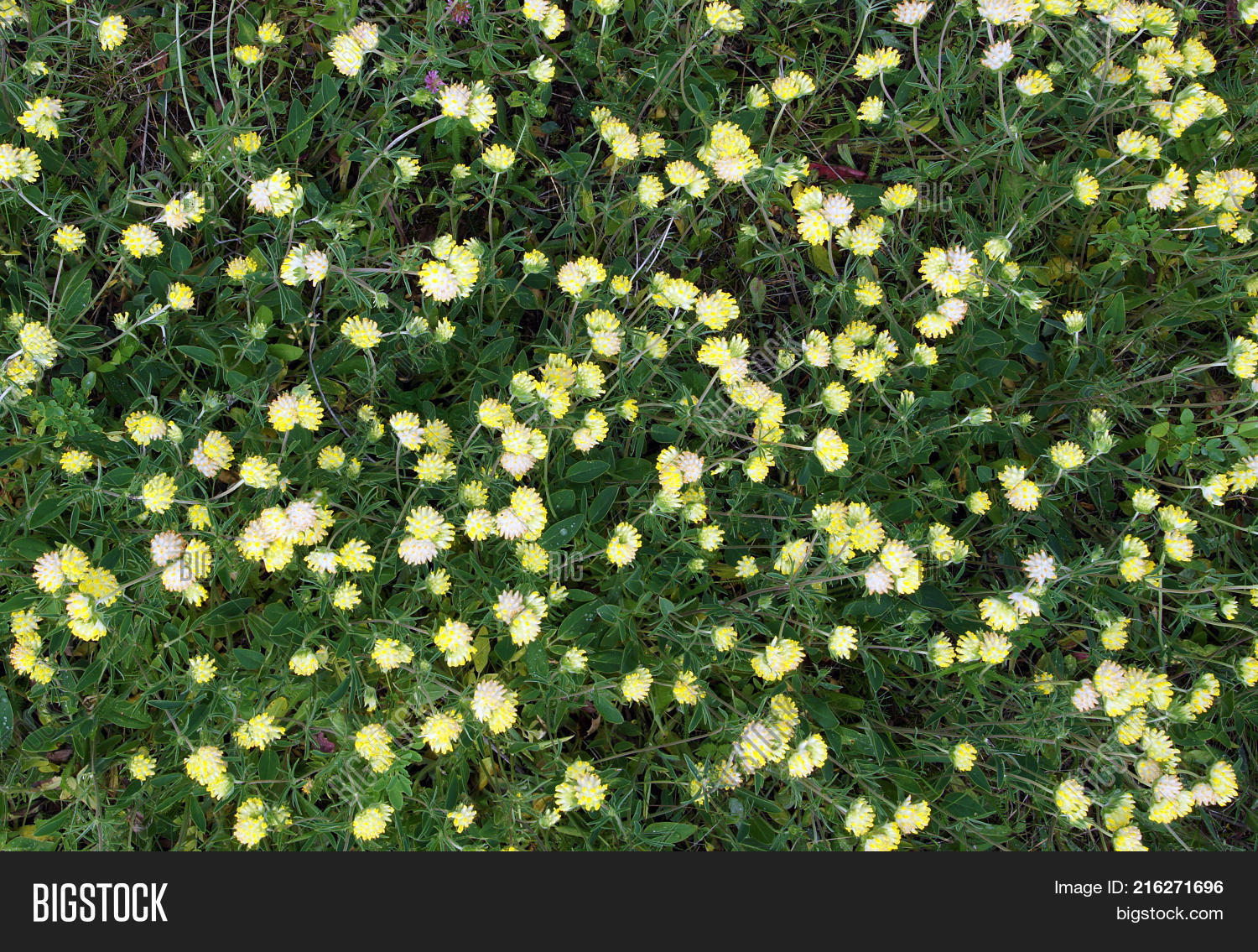 Trifolium Cyathiferum Image Photo Free Trial Bigstock