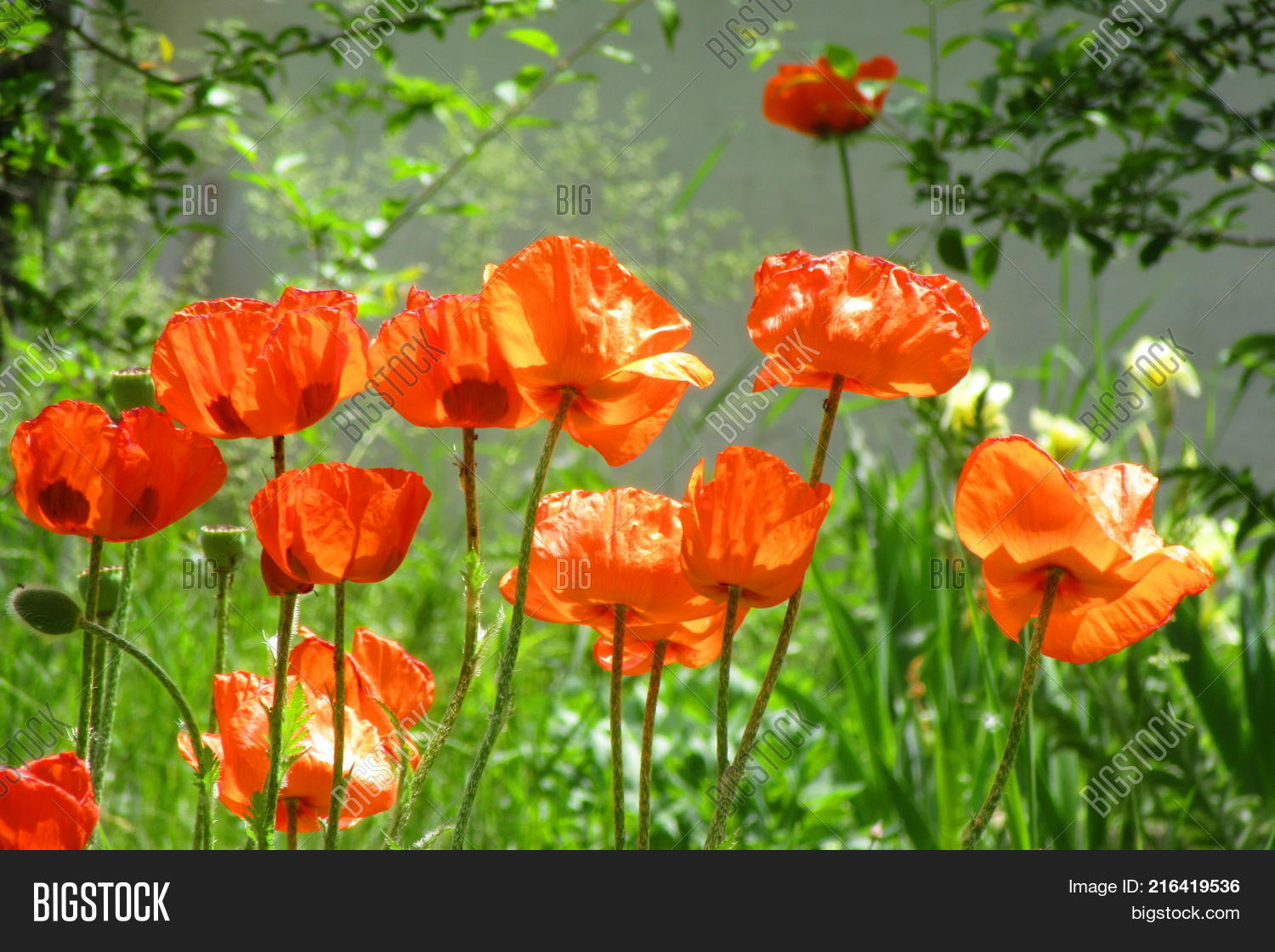 Bright Red Flowers Image Photo Free Trial Bigstock