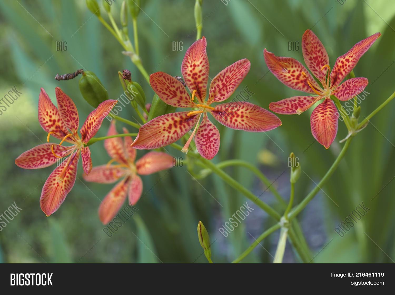 Blackberry Lily Iris Image Photo Free Trial Bigstock