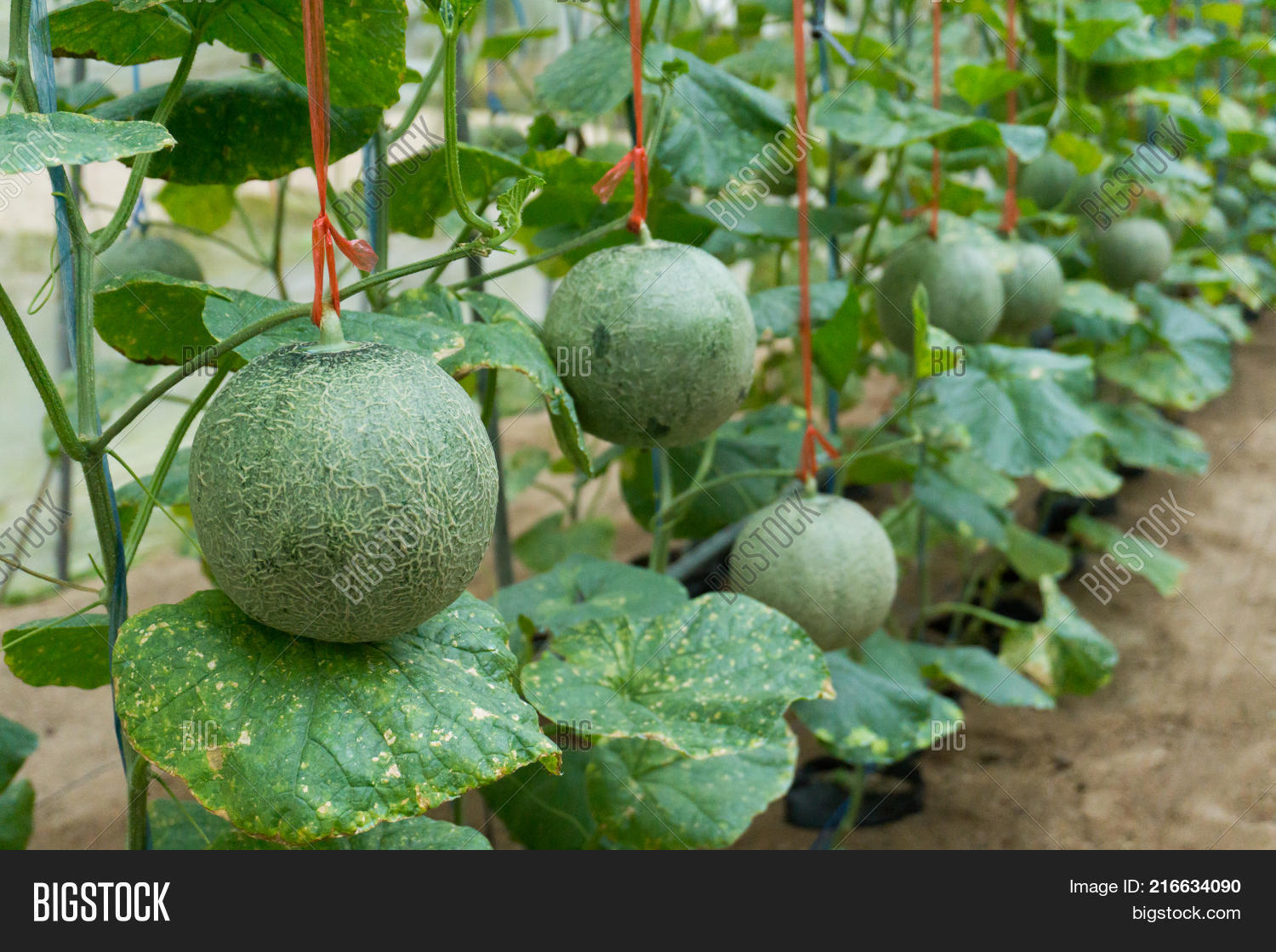 Baby Melon Rock Ball Image Photo Free Trial Bigstock Choose melon which smells sweet and. baby melon rock ball image photo