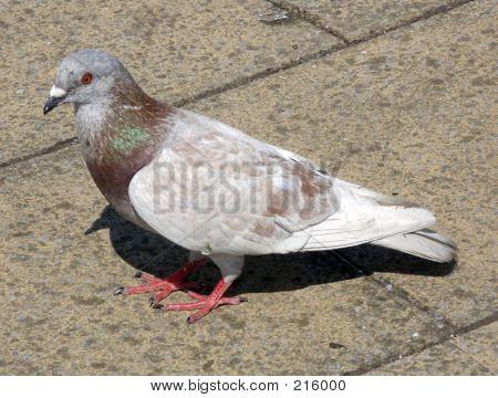 Grey Pigeon