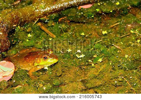 Bullfrog (Rana catesbeiana) in a pond of the Kettle Moraine State Forest of Wisconsin