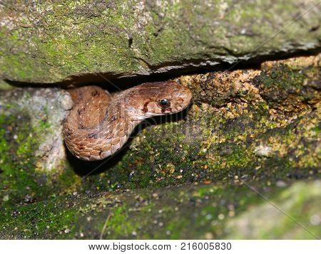 Brown Snake (Storeria dekayi) peeks out of its winter rock hideout in the spring