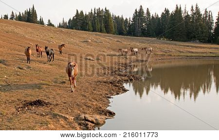 Herd Of Wild Horses At Waterhole In The Pryor Mountains Wild Horse Range In Montana Unted States