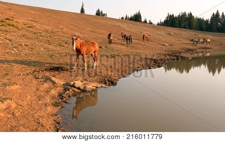 Herd of wild horses at waterhole in the Pryor Mountains Wild Horse Range in Montana Unted StatesRed Bay Dun Stallion reflecting in the water near a herd of wild horses at waterhole in the Pryor Mountains Wild Horse Range in Montana United States