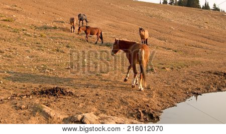 Red Bay Dun Stallion near a herd of wild horses at waterhole in the Pryor Mountains Wild Horse Range in Montana United States