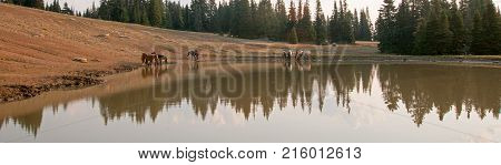 Herd of wild horses in the early morning at waterhole in the Pryor Mountains Wild Horse Range in Montana USA