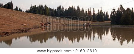 Herd of wild horses in the early morning at waterhole in the Pryor Mountains Wild Horse Range in Montana United States