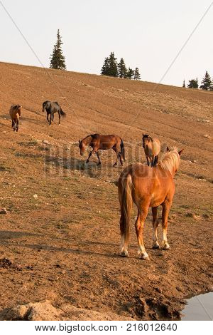 Red Bay Dun Stallion looking at herd of wild horses at waterhole in the Pryor Mountains Wild Horse Range in Montana United States