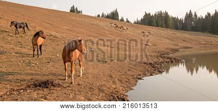 Bay Dun Stallion with herd of wild horses at waterhole in the Pryor Mountains Wild Horse Range in Montana United States