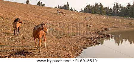 Red Bay Dun Stallion looking across the waterhole with herd of wild horses at waterhole in the Pryor Mountains Wild Horse Range in Montana United States