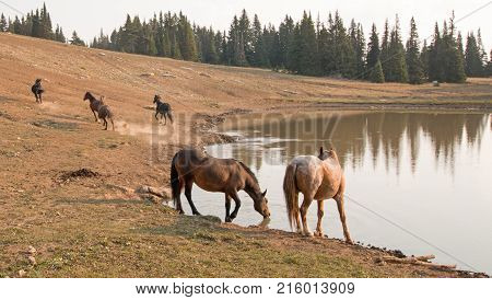 Red Roan Stallion drinking with herd of wild horses at waterhole in the Pryor Mountains Wild Horse Range in Montana United States