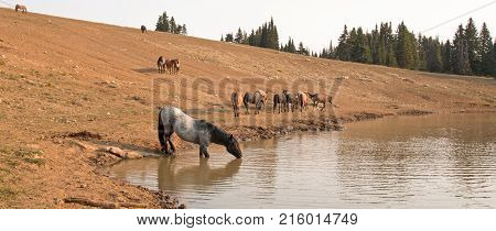 Gray Blue Roan Stallion drinking at waterhole with herd of wild horses in the Pryor Mountains Wild Horse Range in Montana Unted States