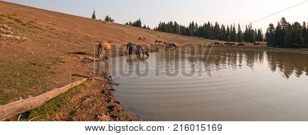 Herd of wild horses at the bank of the waterhole in the Pryor Mountains Wild Horse Range in Montana United States