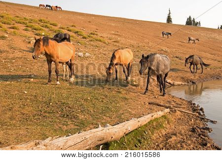 Dun and Chestnut Liver Roan wild horses at waterhole in the Pryor Mountains Wild Horse Range in Montana United States