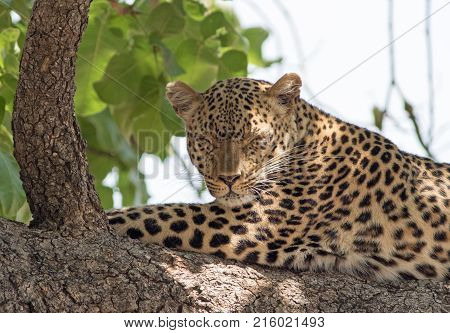 African Leopard (panthera pardus) sleeping on a large branch in south luangwa national park zambia