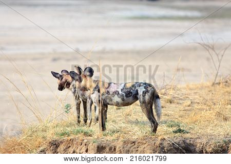 Two Adult Wild Dogs (Lycaon Pictus) standing on the edge of a sandbank looking out over the dry Luangwa Riverbed in Zambia Southern Africa