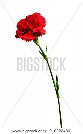 Red carnation, flower with a stem isolated on white background.