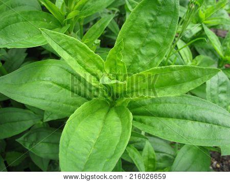 Saponaria officinalis plant in a little garden