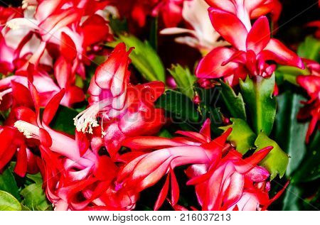 Potted decorative succulent Schlumbergera, commonly called Christmas cactus or Thanksgiving cactus