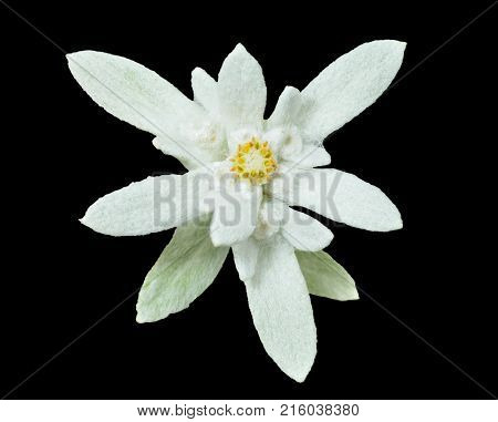 A close up of the flower edelweiss (Leontopodium pallibinianum). Isolated on black.