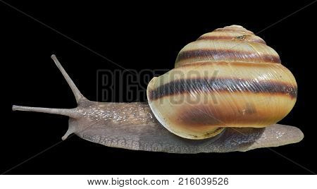 A close up of the snail. Isolated on black.