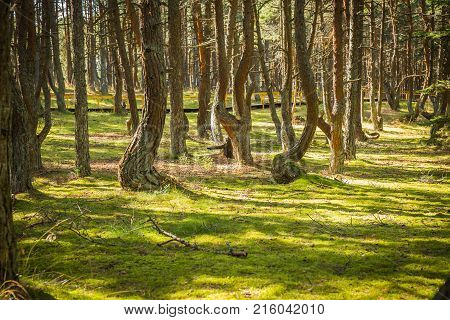 Dancing Forest At Curonian Spit In Kaliningrad Region In Russia