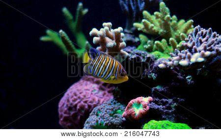 Regal Angelfish in coral reef aquarium tank
