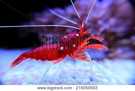 Red Fire shrimp - Lysmata Debelius shrimp